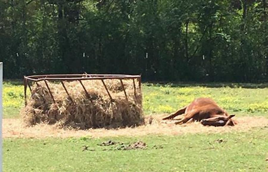 Brown horse laying on its side next to a round bale feeder